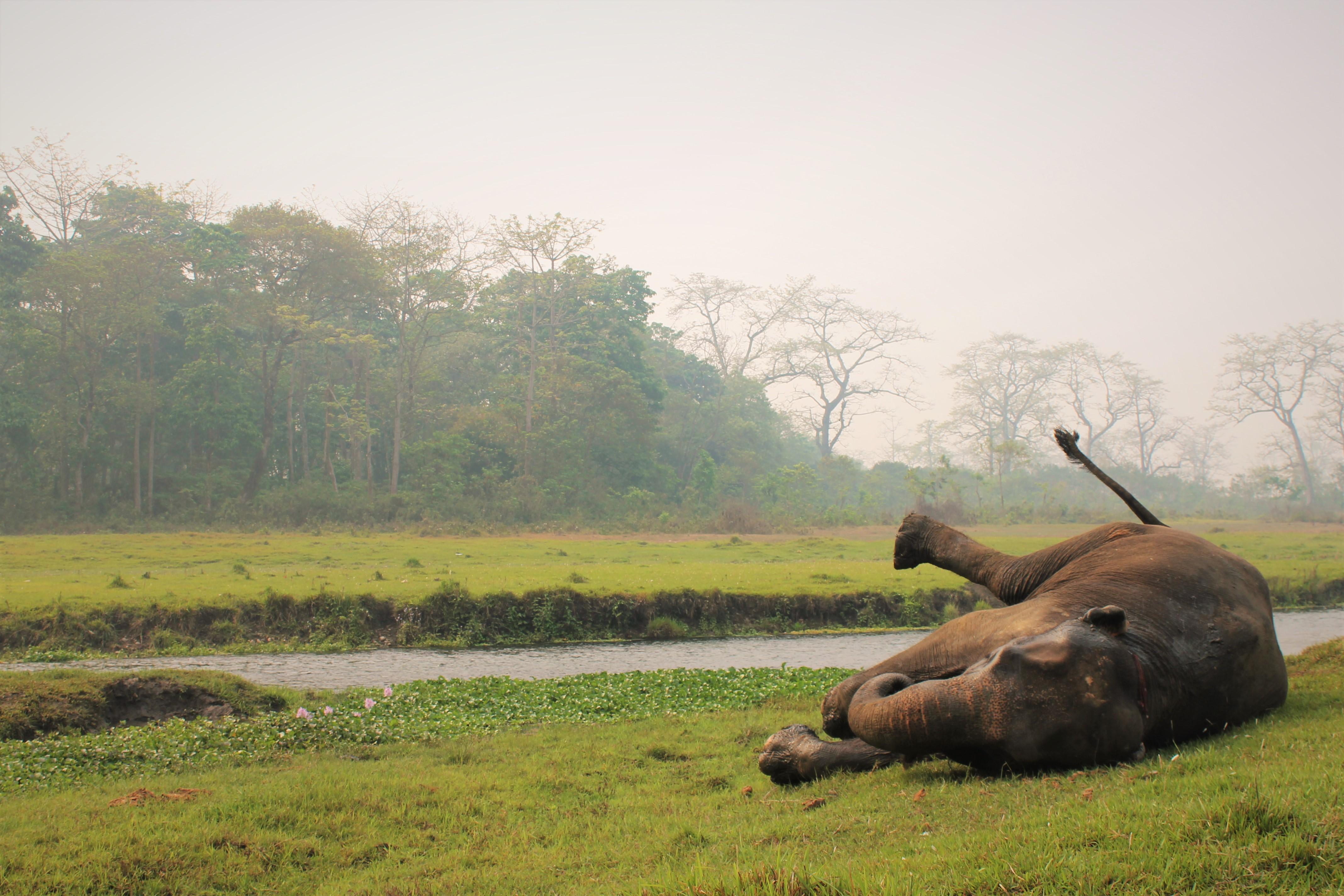 Elefantendame Rupa wälzt sich im Gras
