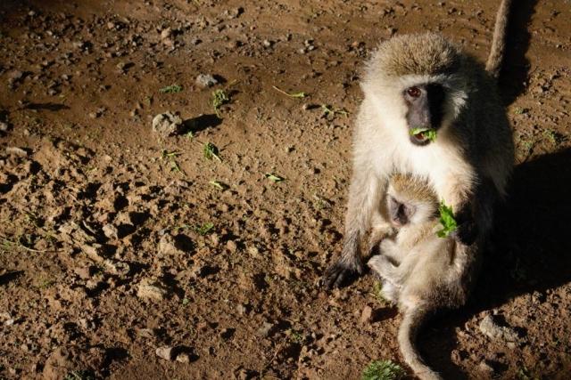 Samtaffe Monkey Afrika